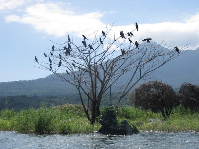 Cormorants in Lake Nicaragua
