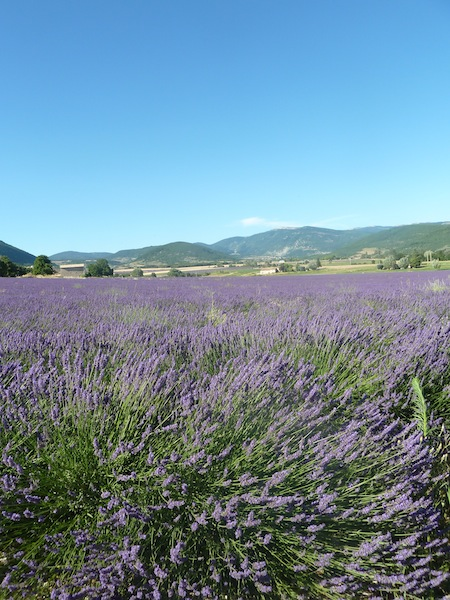 Fields of lavender landscape in Provence