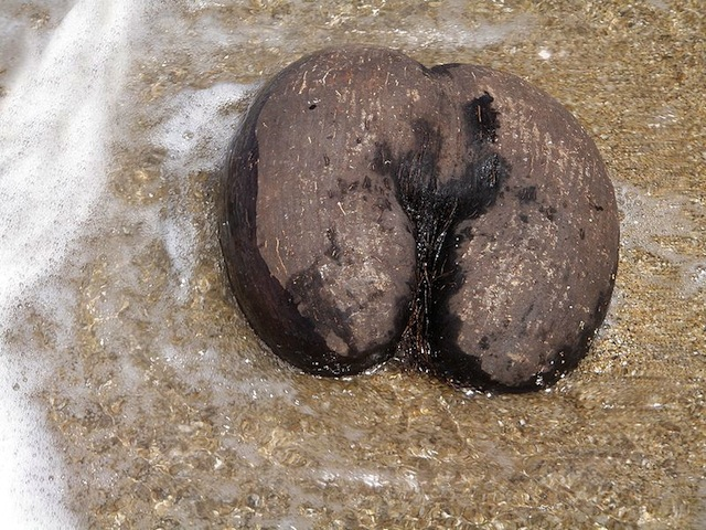 Coco de Mer heaviest nut in world