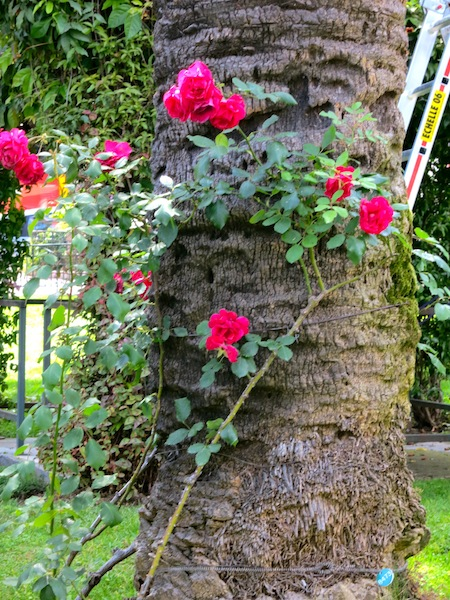 Roses growing around a tree in Monaco
