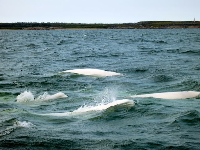 Baby beluga! Adventure in Churchill Canada