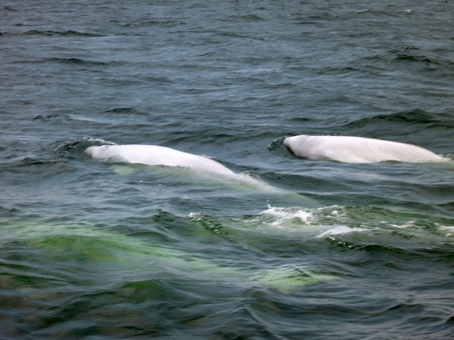 Beluga whales swimming in Churchill