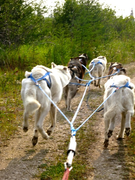Dog carting in Churchill Manitoba Canada