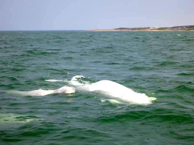 Mother and baby beluga in Churchill Manitoba