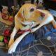 Fairmont Hotel Macdonald canine ambassador Smudge