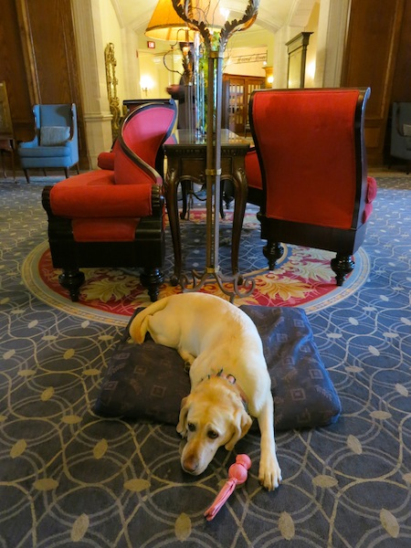 Smudge the dog at The Fairmont Hotel Macdonald Edmonton