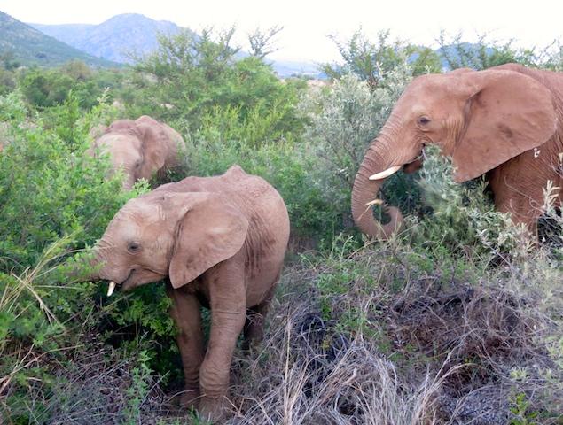 Big Five Safari Animals African elephants
