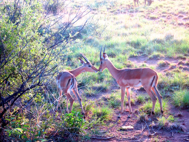 Romance in Sun City animal safari impalas