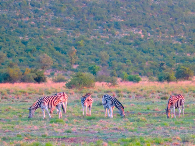 Zebras Pilanesberg Sun City South Africa