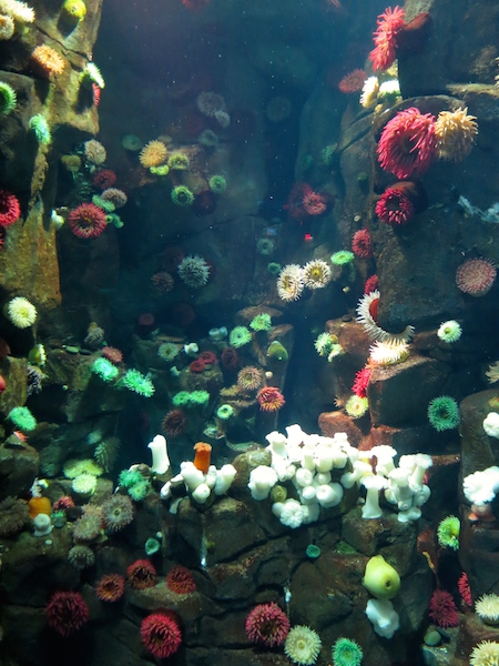 Ripley's Aquarium Toronto sea anemones