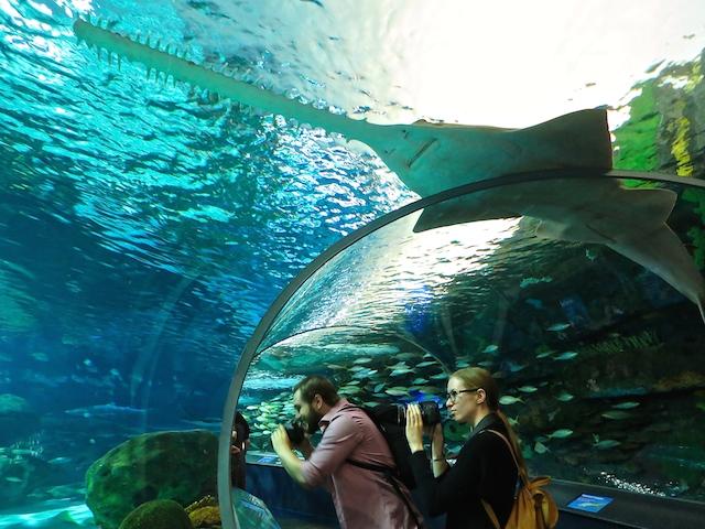 Sawfish at Ripley's Aquarium Toronto
