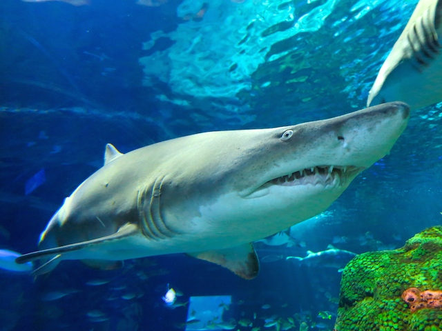 Visiting Ripley's Aquarium Toronto shark close up