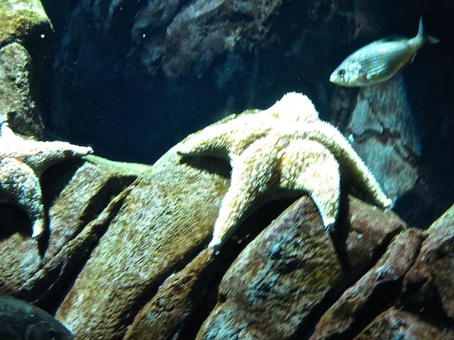 Visiting Ripley's Aquarium Toronto, starfish