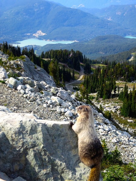 Whistling Marmot, Peak to Peak Whistler experience