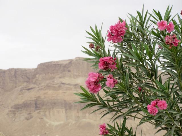 Flowers in Ein Bokek, Judean Desert