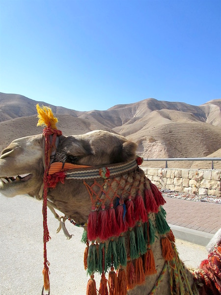 Funny camel closeup in the Judaean Desert