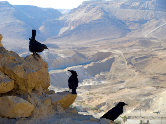 Black birds in the dry Judaean Desert