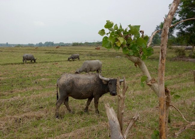 Water buffalo on cycling tour Vietnam