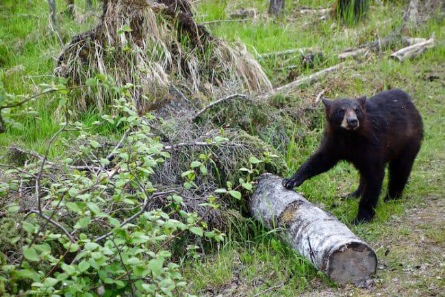 Bear at Zoo Sauvage Saint Felicien, Quebec