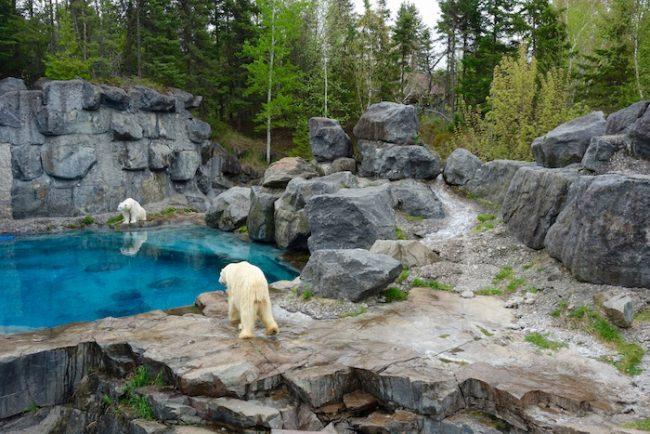 Polar bears at Zoo sauvage St Felicien