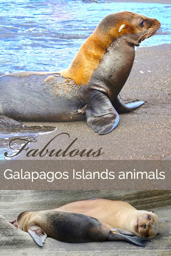 Pinterest image of baby seals in the Galapagos
