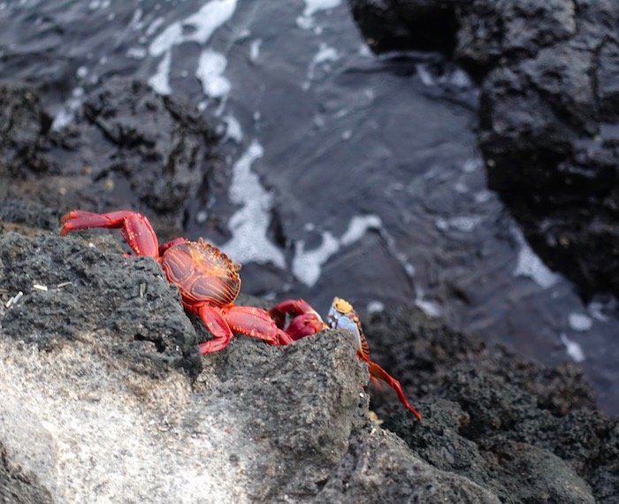 Galapagos animals, Sally Lightfoot crab