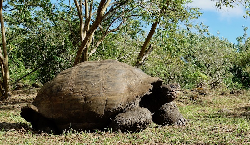 Giant Galapagos Tortoise Santa Cruz Island