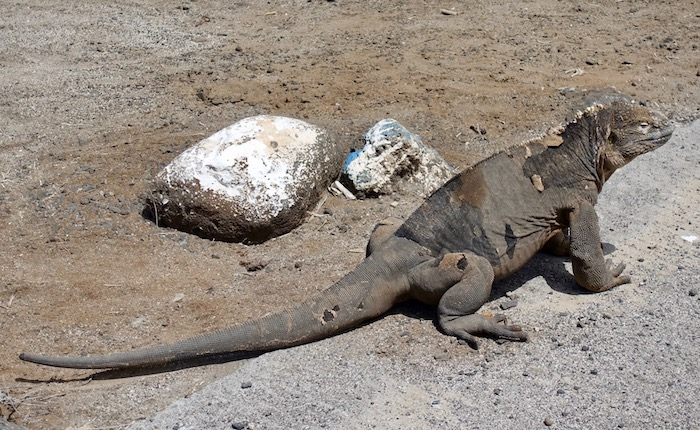 Land iguana in the Galapagos