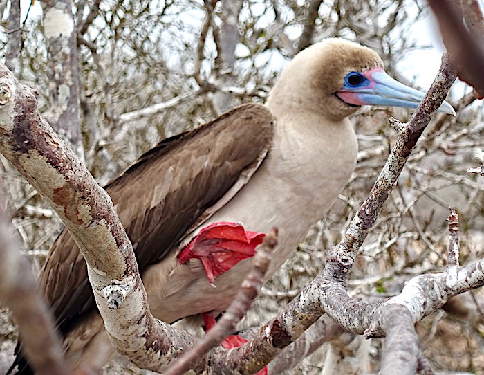 Red-footed booby Galapagos Islands
