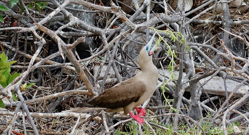 Red-footed booby on Genovesa Island Galapagos cruise