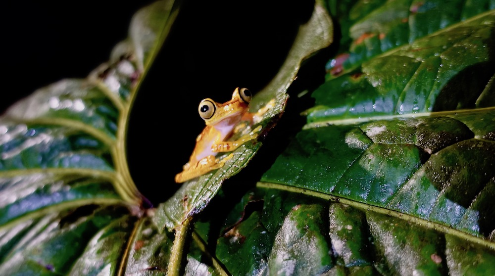 Cloud forest frog at night at Mashpi Lodge