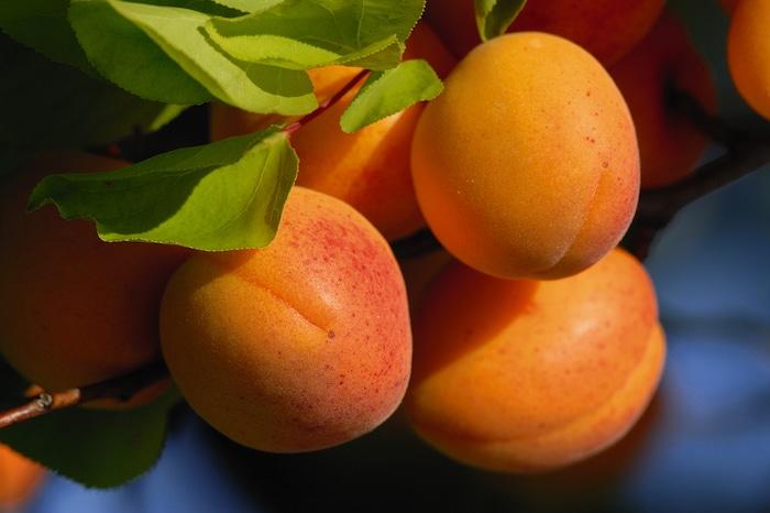 Marillen Wachau Apricots