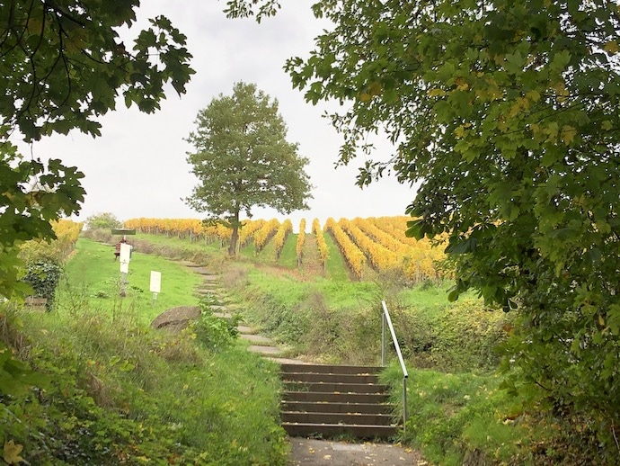 Yellow vineyards in Germany