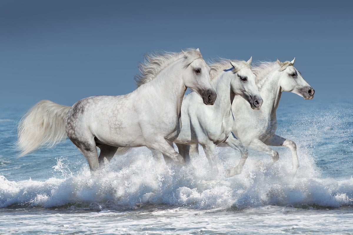 white wild horses in the Camargue in the Bouche du Rhone