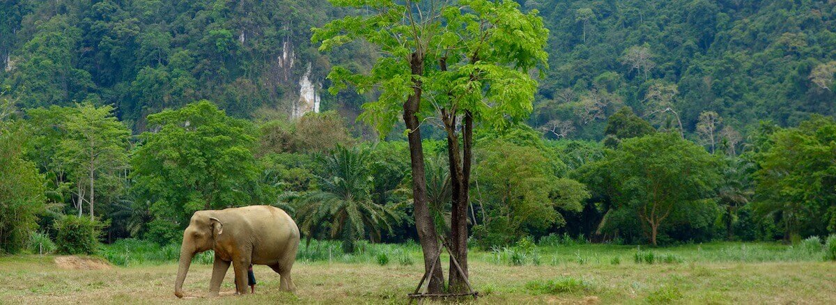 elephant in the jungle in thailand
